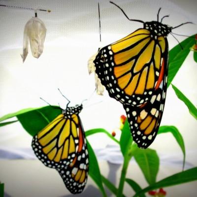 Nurturing Monarch Butterflies