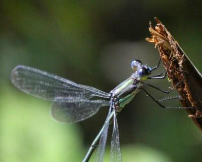 Dragonfly, Costa Rica