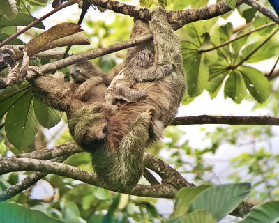 Mama sloth with her 2 babies