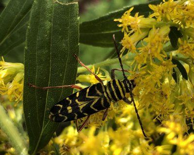 Locust Borer Beetle in the Peace Garden at Dawson