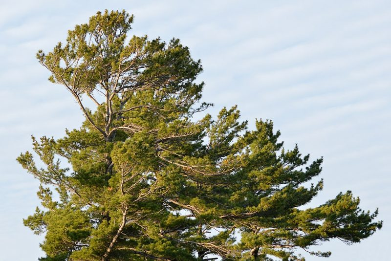 White Pine Planting photo