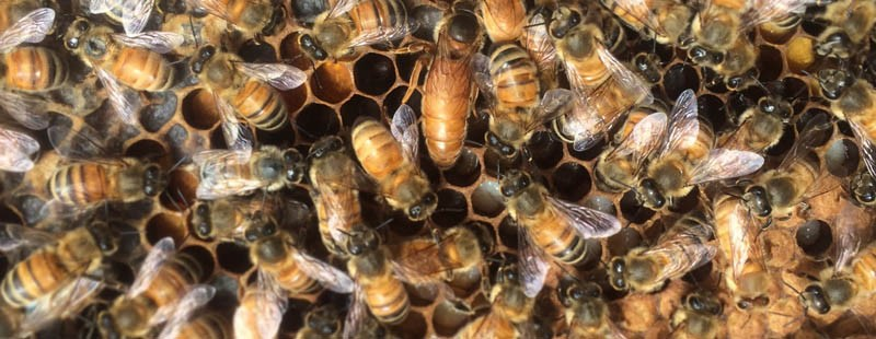 Dawson College Honey Bees Sustainable Dawson ECQ Funded project