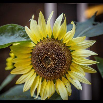 PFW-SUn-Flower-Three-Sisters-3-1200×800
