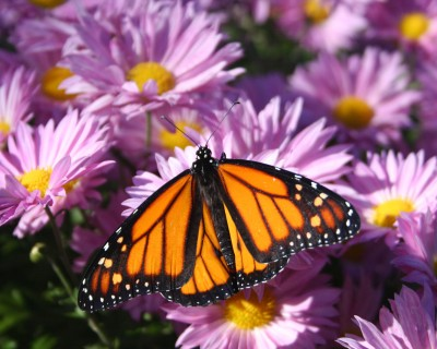 Monarch butterfly in the Peace Garden